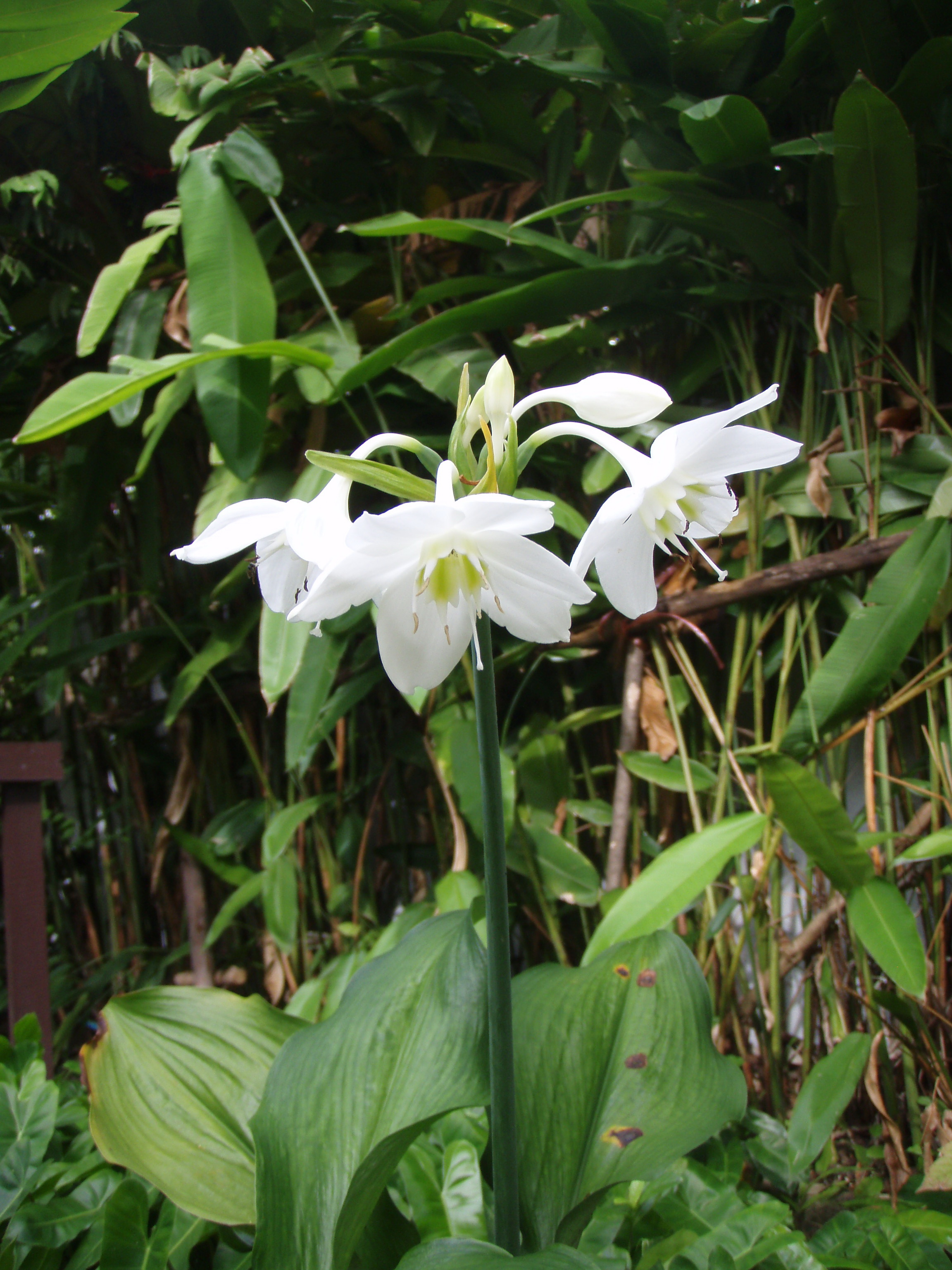 Mahachok Lovely Tropical Bulb Plants In Thailand With