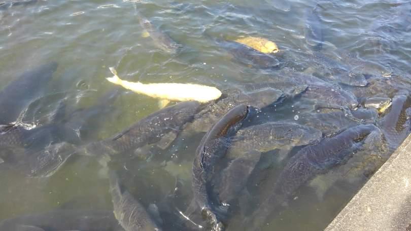 南郷水産センターの鯉