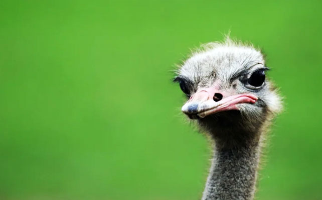 An ostrich's eye is bigger than its brain.