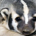 A truck fulls of badgers
