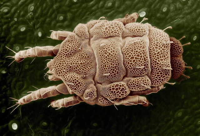 yellow mite, macro, lorryia formosa