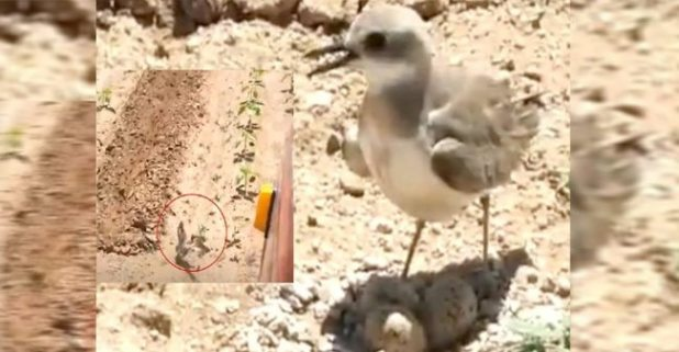 A Mother Bird Stopped The Tractor To Protect Her Eggs, Watch The Video