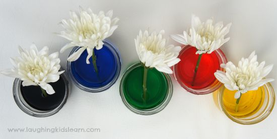 science experiment with colour changing flowers laughing kids learn
