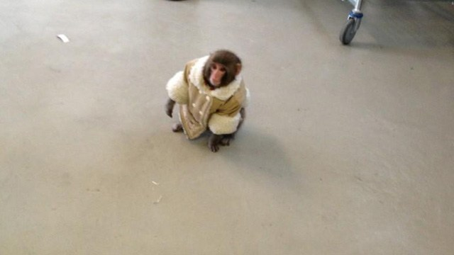 Escaped Monkey in a Fancy Shearling Coat Found at Toronto's Ikea