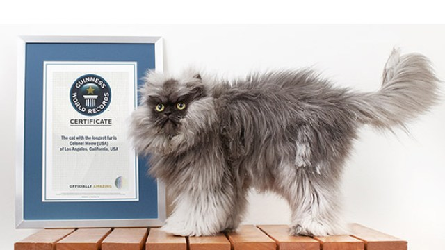colonel meow sets guinness world record for cat with the longest fur