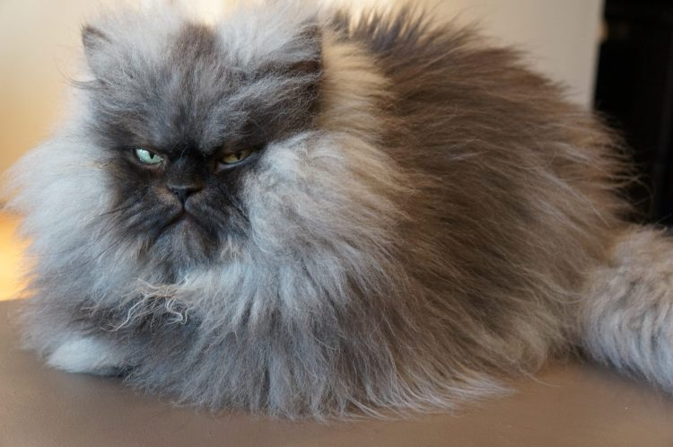 Colonel Meow 2011 2014 Famous Long Haired Frowning Cat