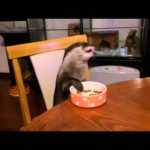 A Temporarily Well Behaved Otter Politely Eats His Meal While Seated at the Table