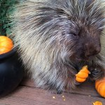 Teddy Bear the Talking Porcupine Chatters Away While Devouring His Halloween Pumpkin