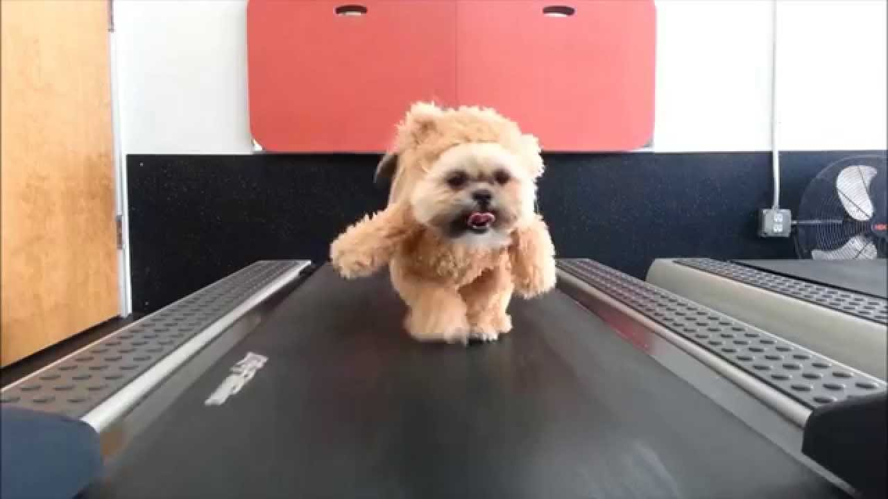 Munchkin the Shih Tzu Walks on a Treadmill While Wearing Her Famous Walking Teddy Bear Costume & A Shih Tzu Dog Wearing a Walking Teddy Bear Costume That Was Made ...