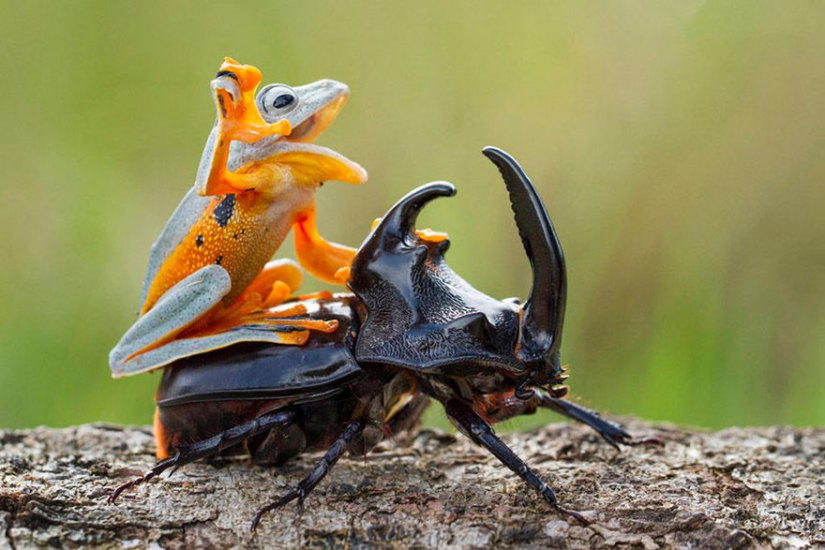 Frog-Riding-Beetle-1.jpg?zoom=2&resize=7