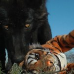 Rescued Wolf Celebrates His 11-Month Birthday by Completely Decimating an Adorable Plush Tiger