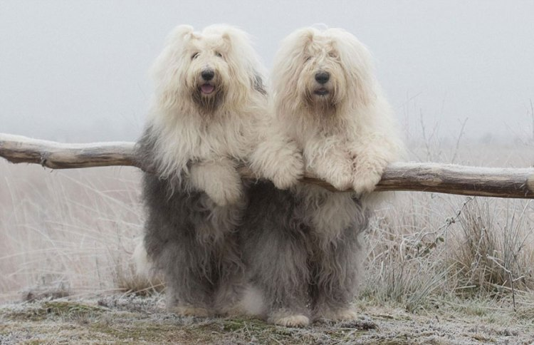 Sophie And Sarah Old English Sheepdog Sisters Who Model