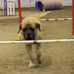 A Giant Mastiff Dog Calmly Completes an Agility Course With Very Little Effort Put Forward