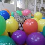 A Little Gray Bengal Cat Gleefully Rolls Around in a Blue Plastic Pool Filled With Multi-Colored Balls
