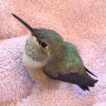 A Tiny Rescued Hummingbird Waits Patiently for a Yummy Snack of Sugar Water