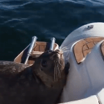A Terrified Seal Jumps Onto the Deck of a Passing Boat to Escape a Circling Pod of Hungry Orcas