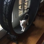 A Demanding Cat Insists Her Human Watch as She Runs on Her Exercise Wheel