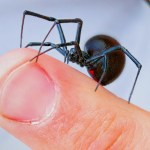 Coyote Peterson Lets a Black Widow Spider Crawl Upon His Bare Hands to Show How Docile They Are