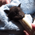 A Famished Little Bat Takes Enormous Bites of a Yummy Banana Despite Her Cranky Mood