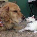 A Playful Kitten Repeatedly Bats the Nose of a Tolerant Dog Who Prefers to Take Nap Instead