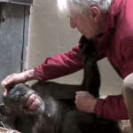 An Ailing 59 Year Old Chimpanzee Embraces Her Beloved Caretaker After Recognizing His Voice