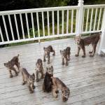Alaskan Photographer Wakes Up to a Mama Lynx and Her Seven Kits Hanging Out on His Back Porch