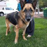 Former Police Dog Rescued From a Kill Shelter When an Illness Made Her Unable to Perform Her Job