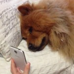 A Sad Chow Dog Mournfully Moans Into the Phone When Her Beloved Human Calls Home on FaceTime