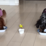 A Tiny Yellow Bird Sprints Out of the Bedroom to Join His Hungry Dachshund Brothers for Dinner