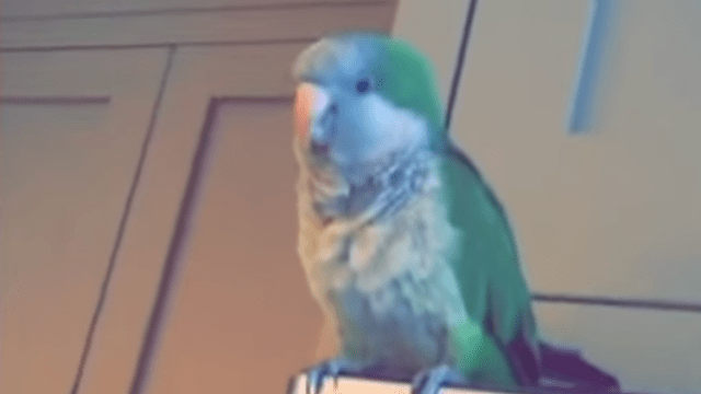 A Cute Parrot Sings The Adventure Time Song Bacon Pancakes With A
