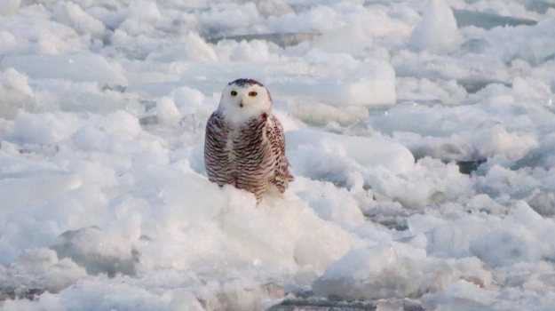 snowy-owl-on-ice-floe A Snowy Owl Sits Serenely Upon an Ice Floe Amongst the Frozen Rolling Waves of Lake Ontario Random