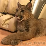 Beautiful Puma Rescued From a Russian Contact Zoo Lives a Happy Life as a Domestic House Cat