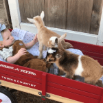 A Four Month Old Baby Girl Is Happy to Share Her Space With Some Affectionate Newborn Baby Goats