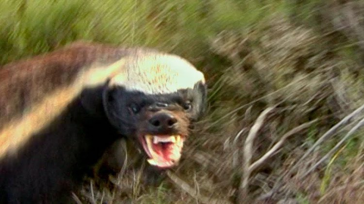honey-badger A Brave Naturalist Follows a Fierce Teeth Baring Honey Badger As She Forages for Food Random