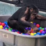Rescued Chimpanzees Gleefully Play in a Colorful Ball Pit After Their Caretaker Shows Them How