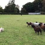 A Herd of Sheep Chase a Wanna-Be Sheepdog in Circles Around the Farm in a Hilarious Role Reversal