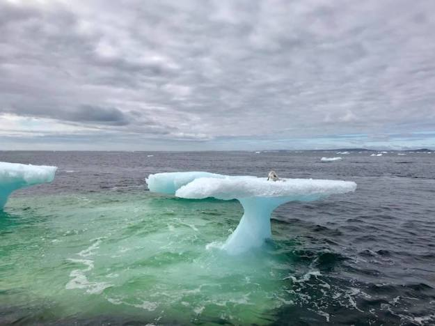 Artic-Fox-Stranded-on-Iceberg Newfoundland Fisherman Rescues a Helplessly Stranded Arctic Fox From an Isolated Iceberg Random