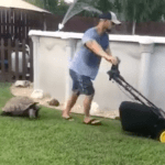 A Surprisingly Quick Moving Tortoise Chases His Lawn Mowing Human Around the Yard