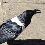 Talking Pied Crow Asks People Passing By on Street 'Y'alright Love?' in a Strong Yorkshire Accent