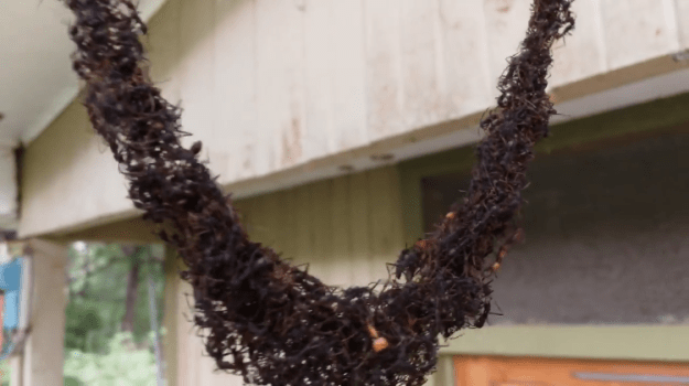 Ant-Bridge-to-Wasps-Nest Thousands of Army Ants Build an Impressive Bridge With Their Bodies In Order to Swarm a Wasp Nest Random