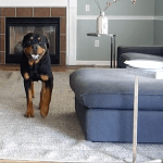 Dog Wearing GoPro Fetch Harness Documents What He Does in the House While His Humans Are Away