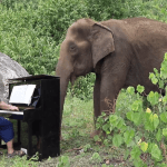 Pianist Plays a Moving Version of Debussy's 'Clair de Lune' for a Beautiful Eighty Year Old Elephant