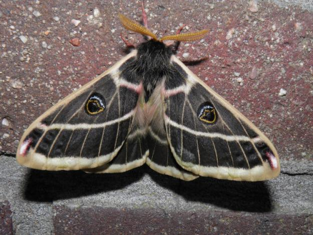 Agapema-Homogena The Surprising Beauty of Gentle Giant Moths Random