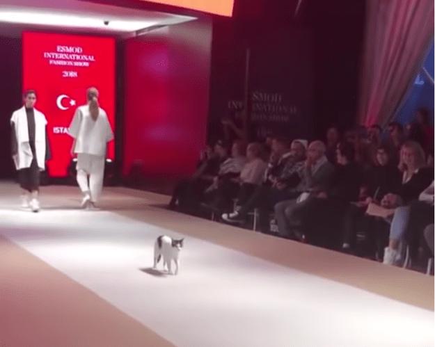 Cat-on-Catwalk A Coordinating Cat Walks Like a Model Down the Catwalk at an International Fashion Show in Istanbul Random