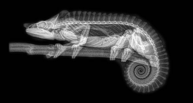 Chameleon Oddly Beautiful X-Ray Images of Animals Taken During Their Annual Checkups at the Oregon Zoo Random