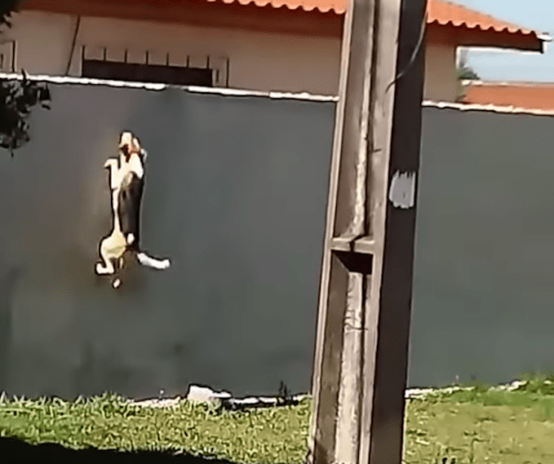 Dog-Jumps-Wall1 Determined Dog Who Repeatedly Attempts to Scale a Concrete Wall Finally Makes Over to the Other Side Random