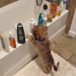 A Tiny Puppy Entertains Himself by Knocking Bottles Off the Ledge and Into the Bathtub Just Like a Cat Would