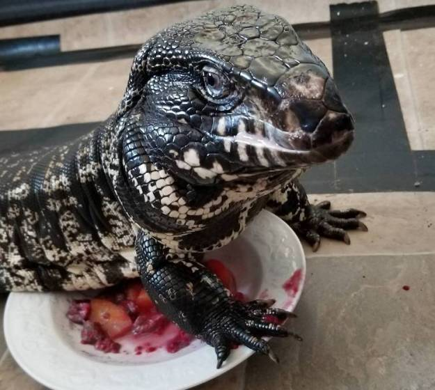 Winston-Guarding-Food An Oddly Elegant Lizard Gobbles Down His Dinner Random