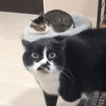 An Enormous Cat Meows in an Oddly Humanlike Sing-Songy Voice if He Were Speaking in Tongues