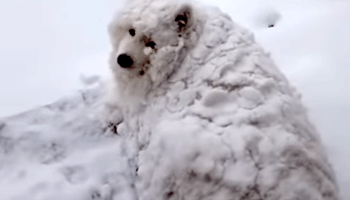 A Big Furry Dog Casually Strolls Across a Surprised